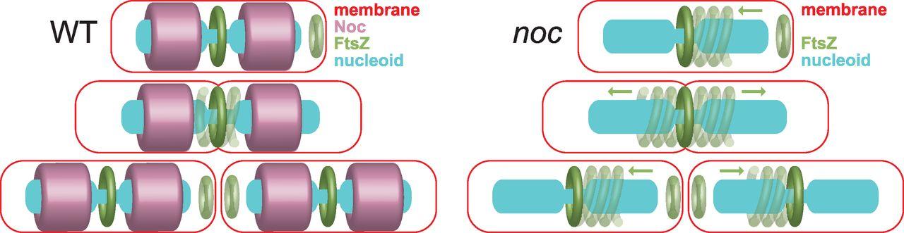 Noc corrals migration of FtsZ protofilaments during cytokinesis in Bacillus subtilis